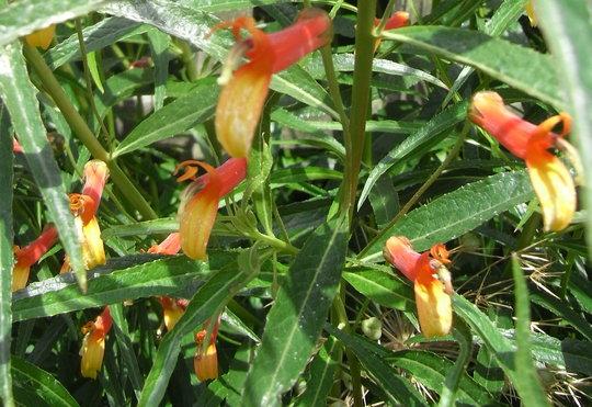 Lobelia laxiflora subsp angustifolia - 2011 (Lobelia laxiflora var angustifolia)