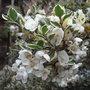 Luma appiculata 'Glanleam Gold' - 2011 (Luma apiculata)