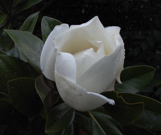 Magnolia grandiflora 'Exmouth' - 2011 (Magnolia grandiflora 'Exmouth')