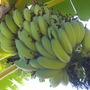 Musa 'Ice Cream' - Ice Cream Bananas