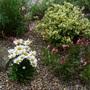 Leucanthemum & Gaura (Leucanthemum x superbum)