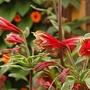 Alstroemeria psittacina (White edged Peruvian Lily)