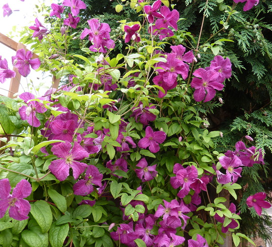 clematis viticella 39 abundance 39 grows on you. Black Bedroom Furniture Sets. Home Design Ideas
