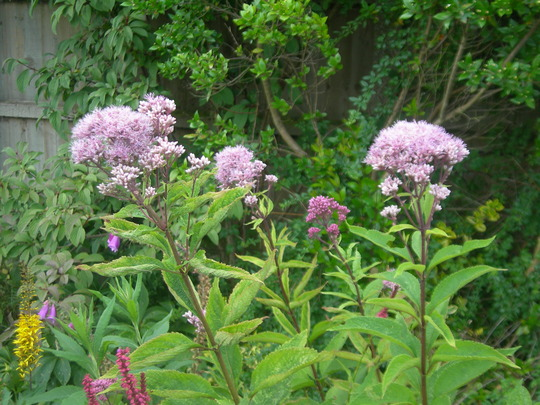 Joe Pye weed (Eupatorium purpureum (Purple Joe Pye weed))