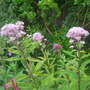 Eupatorium purpureum (Purple Joe Pye weed)