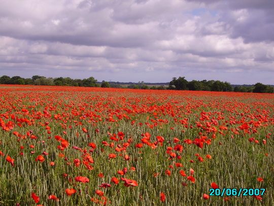 poppies (papaver)