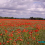Poppies_and_gardens_001