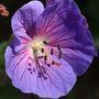 Geranium blue