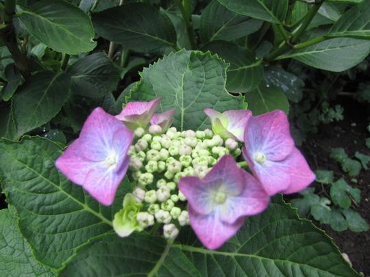 Hydrangea macrophylla (Hortensia).  (Hydrangea arborescens (Hydrangea))