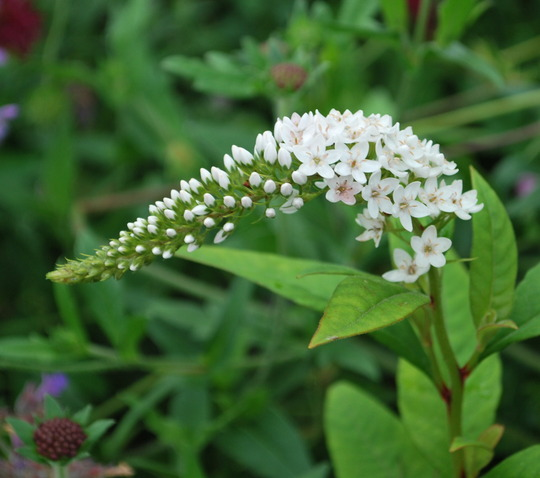 Lysimachia clethroides. (Lysimachia clethroides (Gooseneck loosestrife))