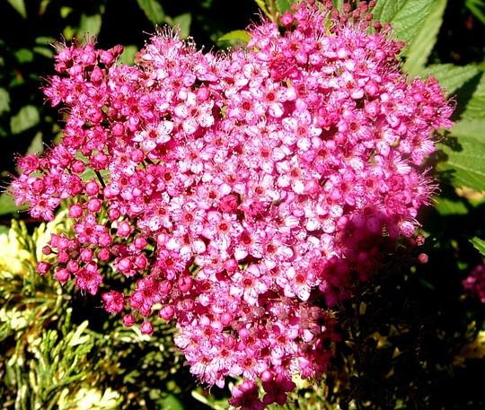 Spirea flower (Helichrysum bracteatum (Everlasting Aureum Superbum))