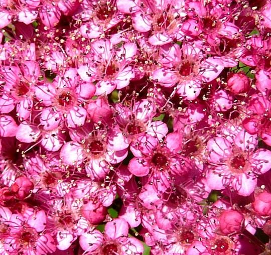 Close up of Spirea (Spirea Japonica, Spirea Arguta and Spirea Nipponica hdge)