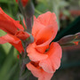Gladioli (gladiolus)