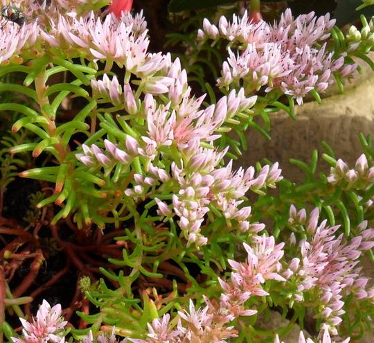 Sedum pulchellum 'Sea Star' (Sedum pulchellum 'Sea Star')