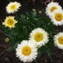 Leucanthemum_real_galaxy_