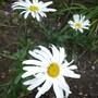 Leucanthemum_maximum_polaris_