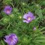 Stokesia laevis 'Klaus Jelitto'just flowering.  (Stokesia laevis)