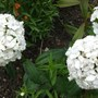 Dianthus barbatus (Sweet William) (Dianthus barbatus (Sweet William))