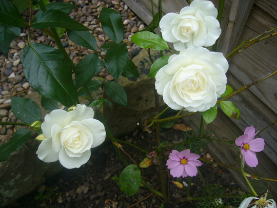 White Rose in the garden today