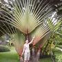 Palm tree (Ravenala madagascariensis)