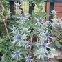 Sea Holly (Eryngium alpinum (Alpen Mannstreu))