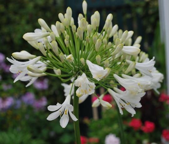 Agapanthus large white.... (Agapanthus campanulatus (African blue lily) White)