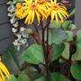 Ligularia..... (ligularia Britt marie Crawford)