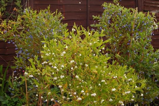 Bluebell Creepers (Sollya heterophylla (Bluebell Creeper))