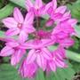 A garden flower photo (Allium oreophilum)