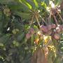 Mangoes, Mangoes, Mangoes (Mangifera indica) (Mango - Mangifera indica)