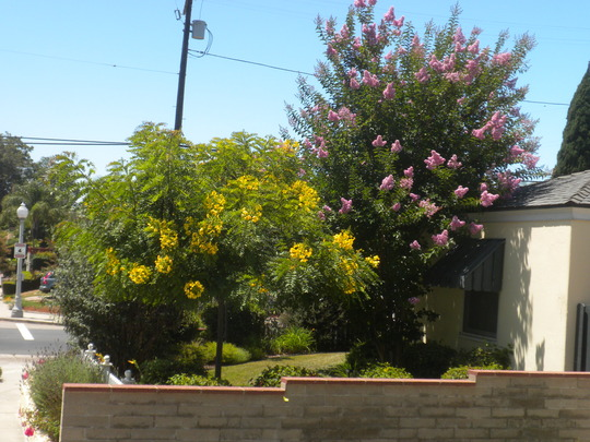 Gold Medallion Tree (Cassia leptophylla) and Pink Crepe Myrtle (Lagerstroemia indica) (Gold Medallion Tree (Cassia leptophylla), Crepe Myrtle (Lagerstroemia indica))