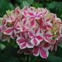 Hydrangea...... (Hydrangea arborescens (Hydrangea))