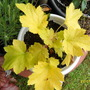 heuchera-electric lime
