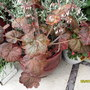 heuchera-palace purple