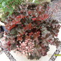 heuchera-crimson curls
