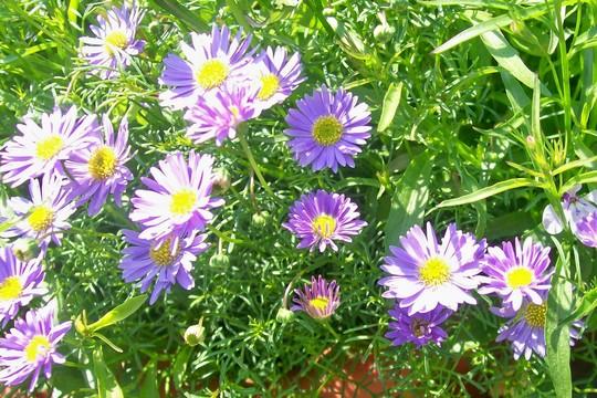 A garden flower photo (Brachycome)