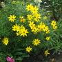 Bidens aurea (Arizona beggarticks) (Bidens aurea (Arizona beggarticks))