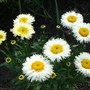 Leucanthemum 'Real galaxy' I love the butteryness of these when they first open (Leucanthemum Real Galaxy)