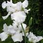 genus Iris