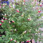genus Salvia