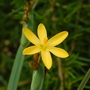 Sisyrinchium californicum (Sisyrinchium californicum (Gold Eye Grass))