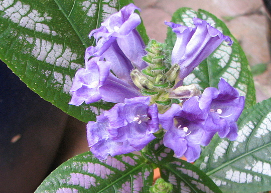 Mid-Winter Downunder - Strobilanthes dyerianus blooming (Strobilanthes dyerianus (Persian shield))