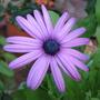 Mid-Winter Downunder - Osteospermum 'Ecklonis Mix' (Osteospermum ecklonis)