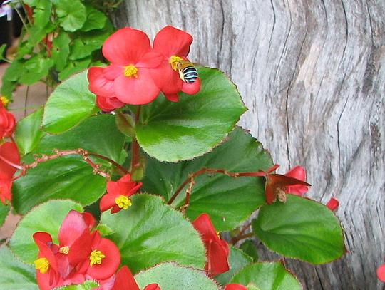 Mid-Winter Downunder - Begonia semperflorens with a visiting Blue-Banded Bee (Begonia semperflorens-cultorum)