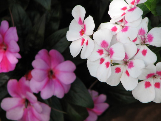 Mid-Winter Downunder - Pelargonium 'Caliente' series and Impatiens hawkeri 'Celebrette' series 'Orchid Star'