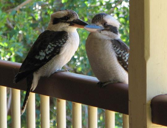 Mid-Winter Downunder - Garden Visitors ... the Laughing Kookaburra