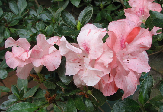 Mid-Winter Downunder - Rhododendron simsii or Azalea indica flowering (Rhododendron simsii)