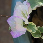 Mid-Winter Downunder - dwarf Variegated Bougainvillea flowering