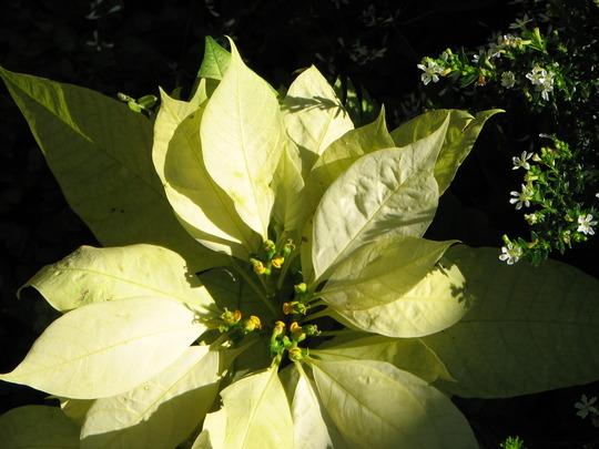 Mid-Winter Downunder - dwarf Euphorbia pulcherrima (Euphorbia pulcherrima (Poinsettia))