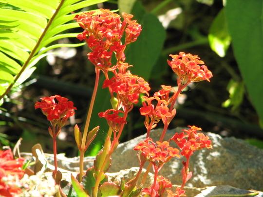 Mid-Winter Downunder - Kalanchoe blossfeldiana flowering (Kalanchoe Blossfeldiana)